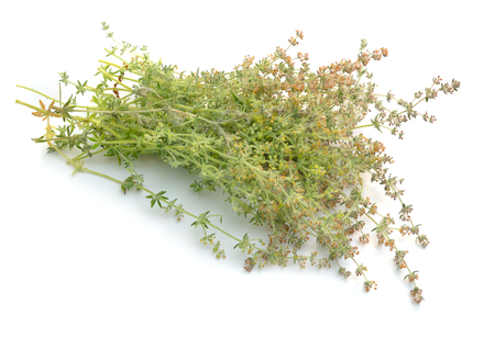 Galium humifusum or spreading bedstraw isolated on white.