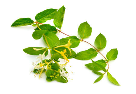 Lonicera japonica, known as Japanese honeysuckle and golden-and-silver honeysuckle. Isolated on white.