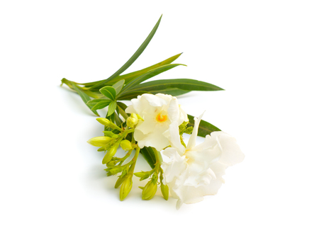 White Nerium oleander isolated on white background. Stok Fotoğraf - 123208300