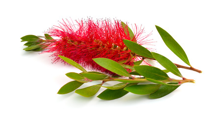 Flowering red Melaleuca, paperbarks, honey-myrtles or tea-tree, bottlebrush. Isolated on white background. Stok Fotoğraf