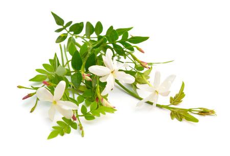 White Jasmine or Jasminum flowers. isolated on white background. Stock Photo