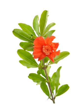 Bloemen van Pumeca granatum of granaatappel geïsoleerd op een witte achtergrond.