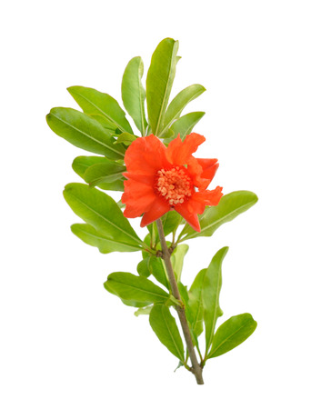 Flowers of Pumeca granatum or pomegranate isolated on white background.