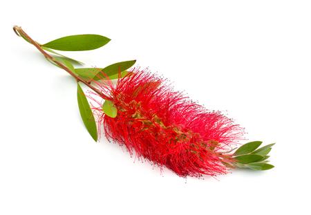 Melaleuca rouge en fleurs, écorces de papier, myrtes à miel ou arbre à thé, goupillon. Isolé sur fond blanc. Banque d'images
