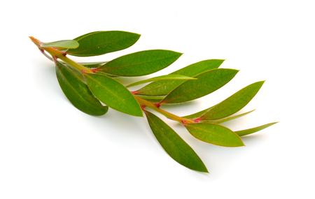 Twig of Melaleuca, paperbarks, honey-myrtles or tea-tree, bottlebrush. Isolated on white background.