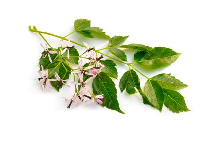 Melia azedarach, chinaberry tree Pride of India bead-tree, Cape lilac syringa berrytree Persian lilac Indian lilac. Isolated.