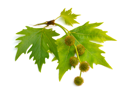 Leaves and fruit of Platanus. planes or plane trees. Isolated on white background Banco de Imagens - 123208440