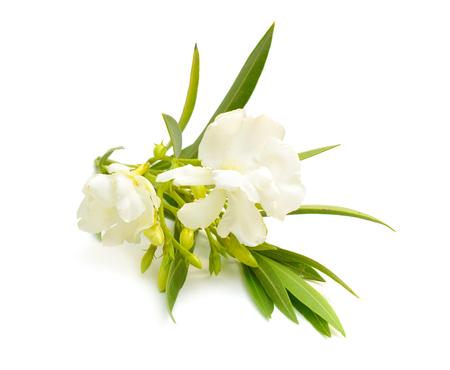 White Nerium oleander isolated on white background. Stok Fotoğraf