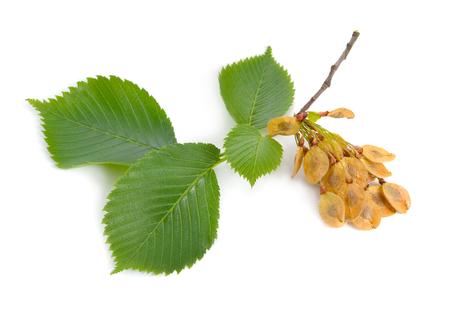 foglie e semi di olmi isolati su sfondo bianco.