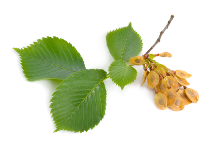 bladeren en zaden van Elms geïsoleerd op een witte achtergrond. Stockfoto