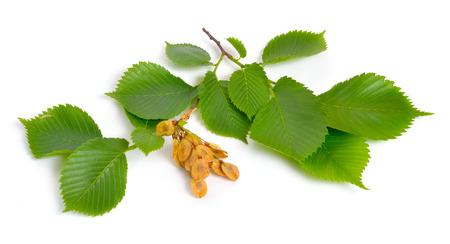 foglie e semi di olmi isolati su sfondo bianco. Archivio Fotografico