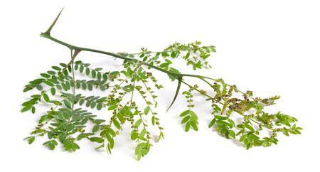 Plant Gleditsiaor locust isolated on white background.