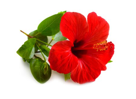 Red Hibiscus known as rose mallow. Other names include hardy hibiscus, rose of sharon, and tropical hibiscus. Isolated.