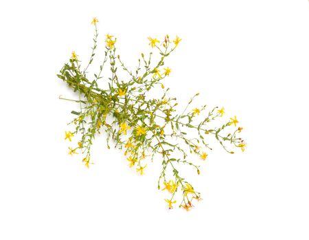 Plant Hypericum triquetrifolium isolated on white background. Stock Photo