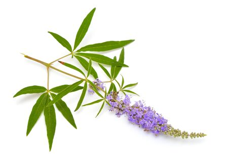 Vitex agnus-castus, chaste tree or chastetree, chasteberry, Abrahams balm, lilac chastetree or monks pepper.
