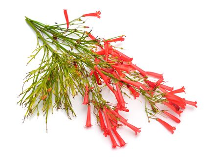 Russelia equisetiformis, commonly known as fountainbush, firecracker plant, coral plant, coral fountain, coralblow