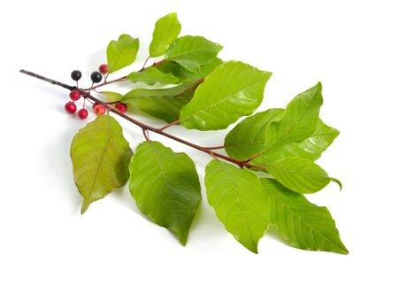 Frangula or buckthorns twig with berry isolated on white background. Stock Photo
