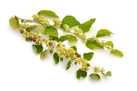 Ziziphus spina-christi, known as the Christs thorn jujube. Twig with flowers and fruits. Isolated. 스톡 콘텐츠