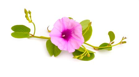 Ipomoea pes-caprae, also known as bayhops, beach morning glory or goats foot. Isolated