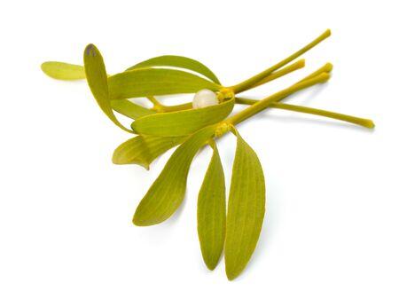Viscum album, commonly known as European mistletoe