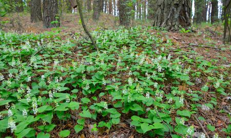 Maianthemum bifolium, false lily of the valley or May lily