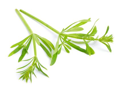 Galium aparine or clivers, bedstraw, goosegrass, catchweed, stickyweed, sticky bob, stickybud stickyback robin-run-the-hedge sticky willy sticky willow stickeljack sticky grass Isolated.