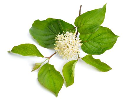 Cornus sanguinea, the common dogwood or bloody dogwood. Flowers isolated. Stock Photo