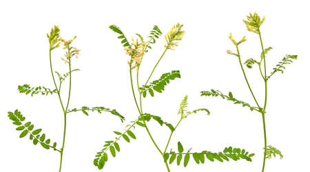 Astragalus glycyphyllos or liquorice milkvetch, wild liquorice, wild licorice. Isolated.