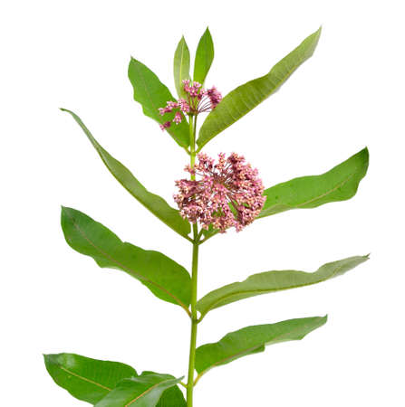 Asclepias syriaca, commonly called common milkweed, butterfly flower, silkweed, silky swallow-wort, and Virginia silkweed. Isolated on white.