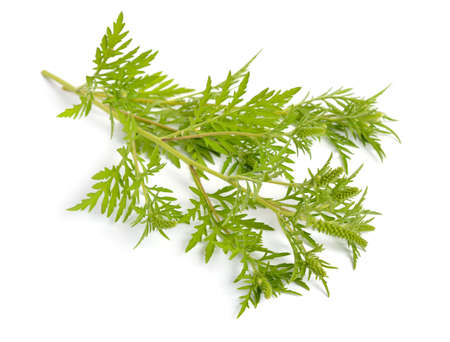 Ragweeds, Ambrosia. Other common names include bursages and burrobrushes. Isolated on white background