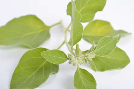 Withania somnifera, known commonly as ashwagandha, Indian ginseng, poison gooseberry, or winter cherry.