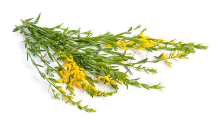 Genista tinctoria, the dyers greenweed or dyers broom. Isolated on white background Standard-Bild