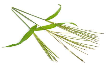 Cynodon dactylon, known as Bermuda grass, Dhoob, durva grass, ethana grass, dubo, dogs tooth grass. Isolated.