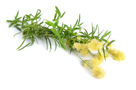 Thalictrum flavum or Meadow-rue isolated on white background Standard-Bild