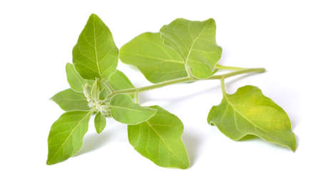 Withania somnifera, known commonly as ashwagandha, Indian ginseng, poison gooseberry, or winter cherry. Isolated