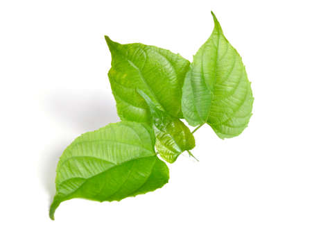 Young sprout Plukenetia volubilis, commonly known as sacha inchi, sacha peanut, mountain peanut, Inca nut or Inca-peanut Standard-Bild