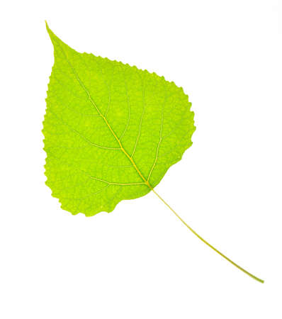 Green poplar leaf isolated on white background