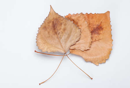 Autumn time. Three dried fallen leaves of poplar on a white background