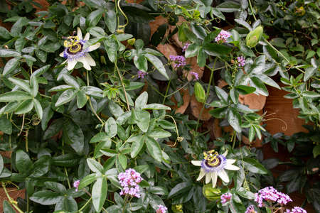 Passionflowers blooming in the garden Banque d'images