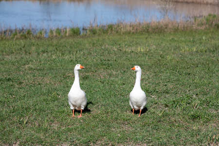 Couple of white geese