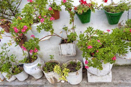 geranium color: Geraniums in white buckets