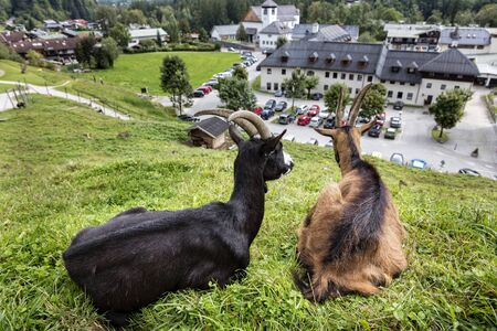 billygoat: Goat on a meadow above Schnau in Bavaria Stock Photo