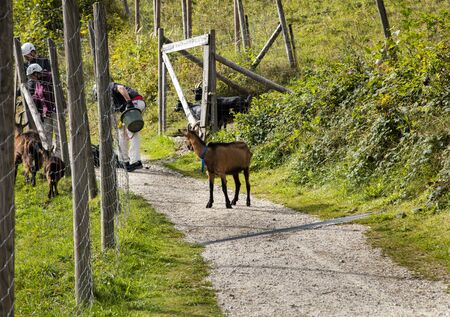 unruly: one male goat