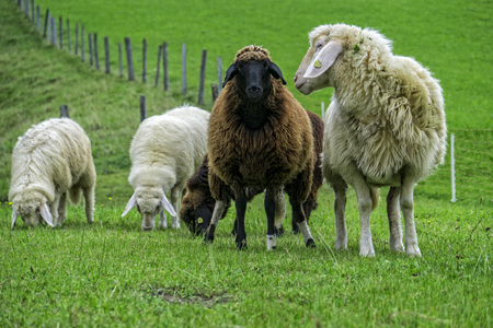 piss: Sheep in the meadow