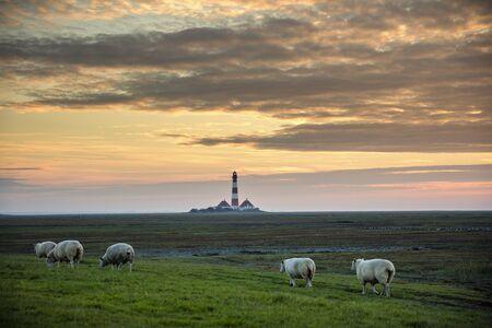 westerheversand: Schafe auf der Wiese mit dem Leuchtturm von Westerhever im Bildhintergrund