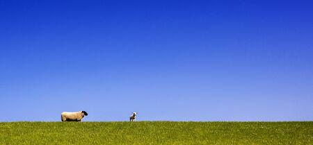 Sheep on the dike on the North Sea