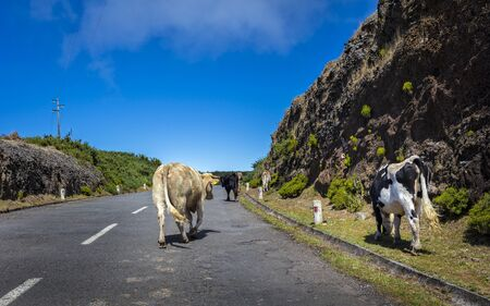 carriageway: Cow on the road