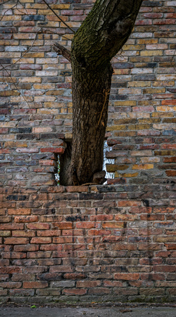 a tree grows through a stone wall Stock Photo