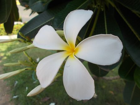 whithe: Champa flowersWhite flower. Stock Photo