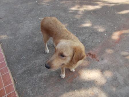 lovely: A lovely golden retriever dog. Stock Photo